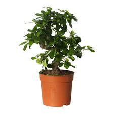 tea plant - grow your own